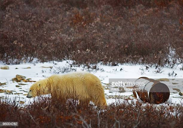 STORY by PierreHenry Deshayes 'NorvègeArctiquesociétéanimauxours' This file picture dated November 14 2007 shows a Polar Bear walking past an oil...