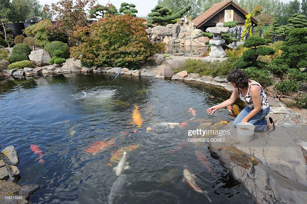 STORY by Roddy Thomson A picture taken on August 17 2011 shows a woman feeding Koi carps in a pond of a breeding farm near Gent Police in Belgium...
