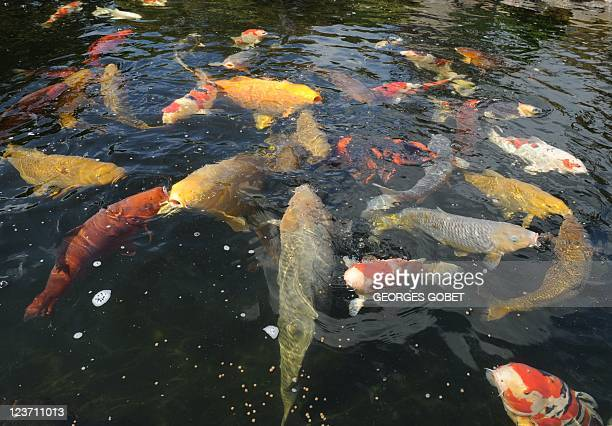 Koi carp stock photos and pictures getty images for Koi fish farm near me