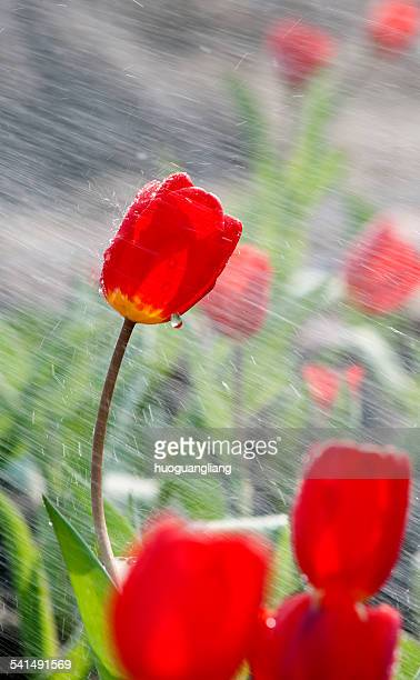 By spray impact of tulips