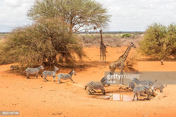 By the water hole. Zebras, giraffes and warthogs drinking, Kenya.