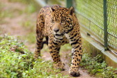 STORY by Yana Marull A captive jaguar walks in an enclosure at Petro Velho Farm a refuge of the nongovernmental organization NEX in Corumba de Goias...