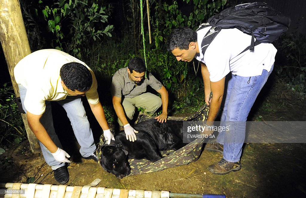 STORY by Yana Marull Members of the non-governmental organization NEX and the Brazilian Institute of Environment (IBAMA) put a GPS collar and take biometric information of a wild melanistic jaguar before releasing it again into the bushland, in Goias State, Brazil, on January 10, 2013. Nex, an NGO aimed at preserving and defending the life of endangered Brazilian wild cats, has a sanctuary in the state of Goias which receives big cats from across Brazil which cannot return to nature. AFP PHOTO/Evaristo SA