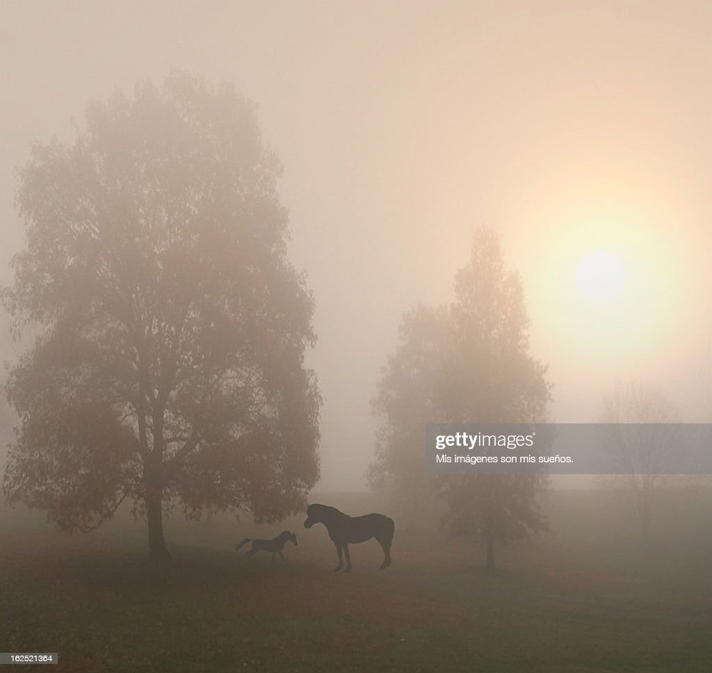 Caballos en la niebla : Stock Photo