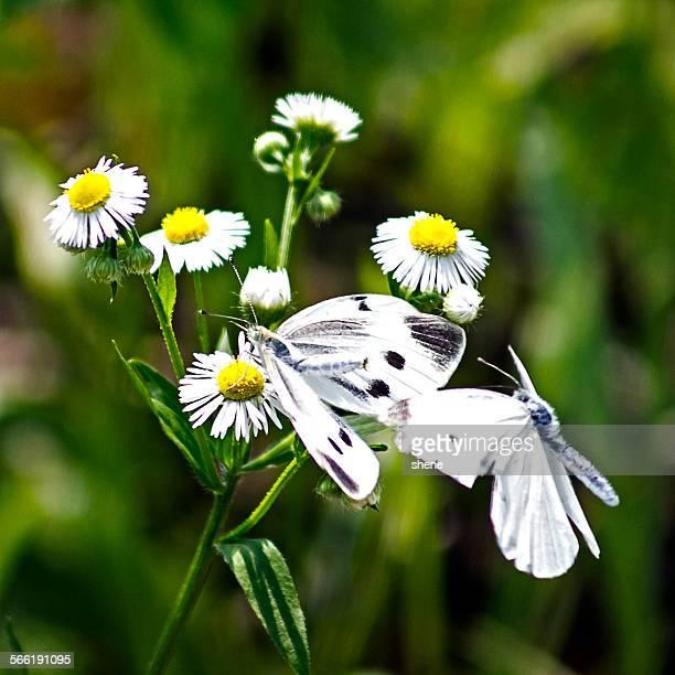 Cabbage butterflies