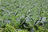 Agriculture / Cabbage cultivation