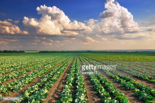 Cabbage field : Stock Photo