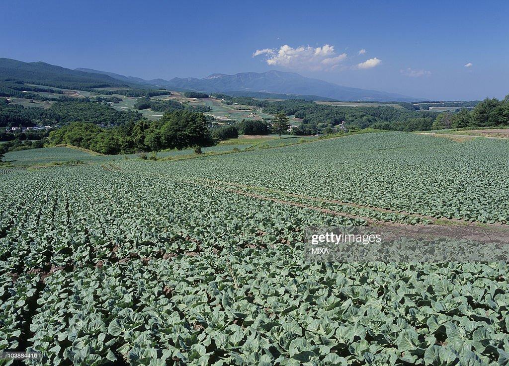 Cabbage Field, Tsumagoi, Agatsuma, Gunma, Japan