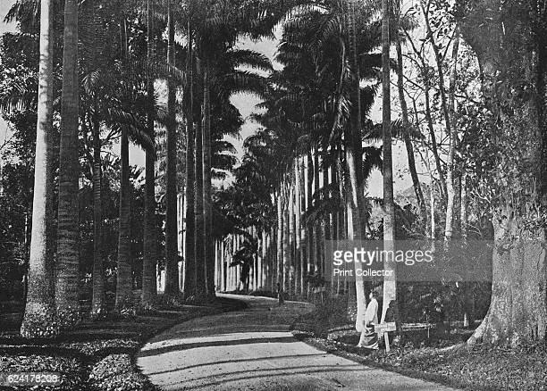 Cabbage Palms in Peradeniya Gardens' c1890 From The Hundred Best Views of Ceylon [Plâté Ltd Colombo Kandy Nuwara Eliya 1910] Artist Alfred William...