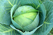 Cabbage (Brassica oleracea) plant growing in a garden