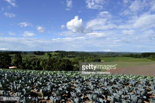 Cabbages : Foto de stock