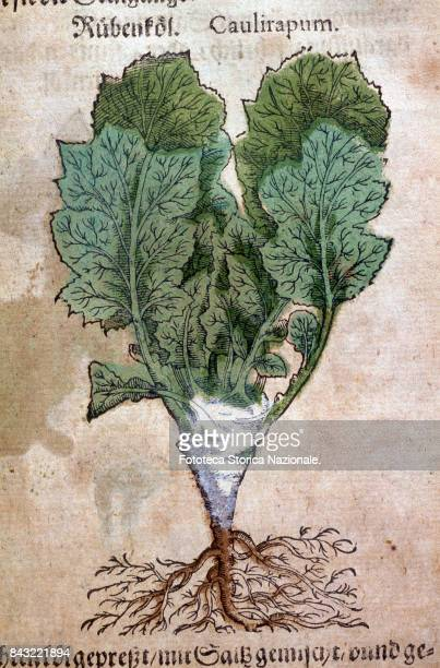 CabbageTurnip entire plant including the roots as represented in the publication 'Kreutterbuch dess hochgeleherten unnd wettberühmbten Herrn ' by...