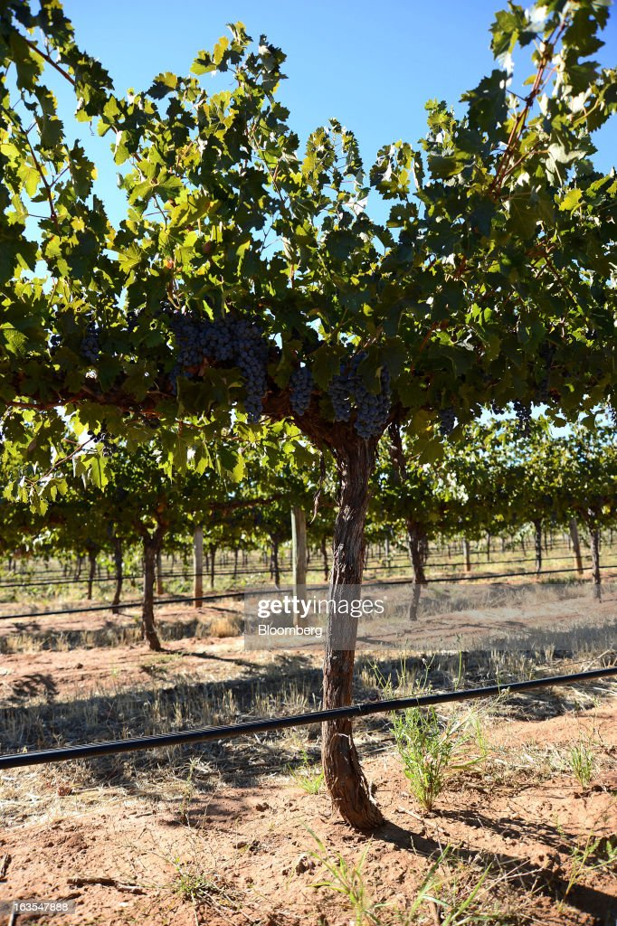 Cabernet Sauvignon grapes hang on a vine ready for harvesting at Treasury Wine Estates Ltd.'s Wolf Blass vineyards in the Barossa Valley, Australia, on Monday, March 4, 2013. Treasury, Australia's largest winemaker, is counting on luxury and high-end products to boost earnings as the strength of the Australian dollar makes lower-priced export labels unprofitable and domestic liquor chains push for cheaper products under their own labels. Photographer: Carla Gottgens/Bloomberg via Getty Images