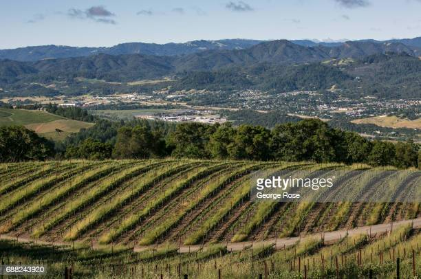 A cabernet sauvignon vineyard at Wild Creek Vineyard located on a nearby mountain hillside is viewed on May 5 near Cloverdale California After record...