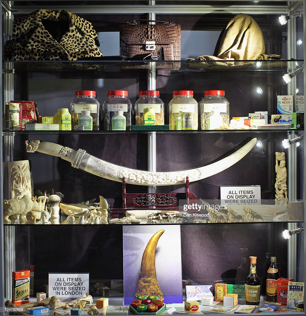 A cabinet displaying various items including carved Rhino, Walrus, and Elephant Ivory is displayed at an 'Endangered Species' exhibition at London Zoo on September 12, 2011 in London, England. The exhibition is organised by 'Operation Charm', a Metropolitan Police partnership aimed at tackling the illegal trade in endangered wildlife and runs for one month at London Zoo. Items include a 10 week old stuffed Tiger cub, the tooth of a sperm whale, Ivory carvings, and a stuffed Tiger.