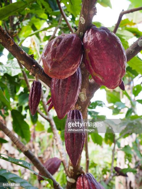 Cacao fruit on tree in tropical fruit farm in Kinabalu foothills, Borneo