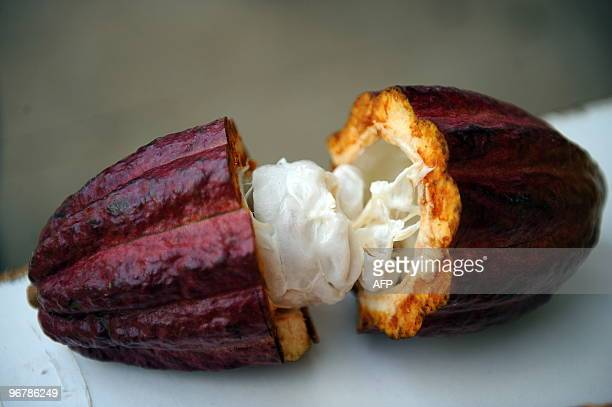 A cacao pod cutinhalf at the Tropical Agriculture Research and Education Center in Turrialba about 40 km southeast of San Jose on February 16 2010 In...