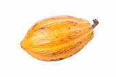 Large ripe Theobroma cacao pod isolated on white background