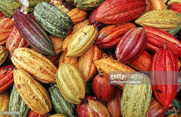 Cacao pods, raw material for chocolate.
