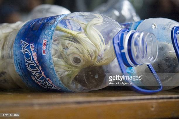Cacatua sulphurea that was successfully secured from illegal wildlife trading is seen into an empty bottle in Surabaya East Java Indonesia on May 04...