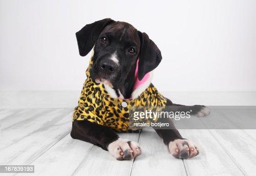 cachorro con abrigo de leopardo : Stock Photo
