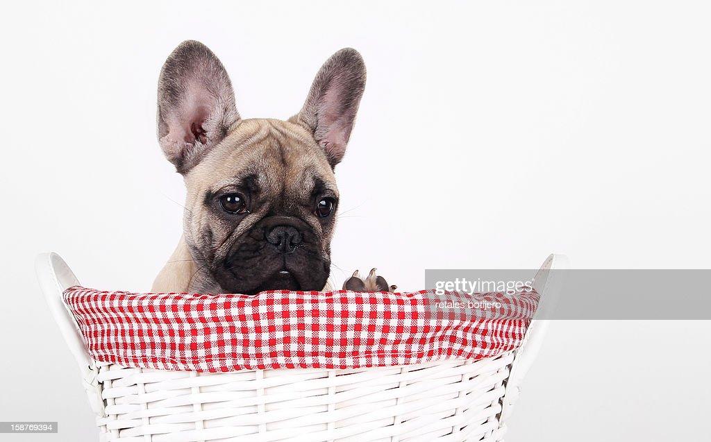 cachorro de buldog frances en un cesto : Stock Photo