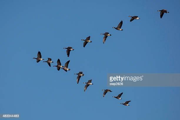 Cackling Geese - Branta hutchinsii