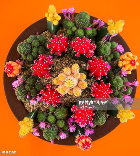 Cacti at the 'The RHS Greening Grey Britain Garden for Health Happiness and Horticulture' at the Chelsea Flower Show on May 23 2016 in London England...