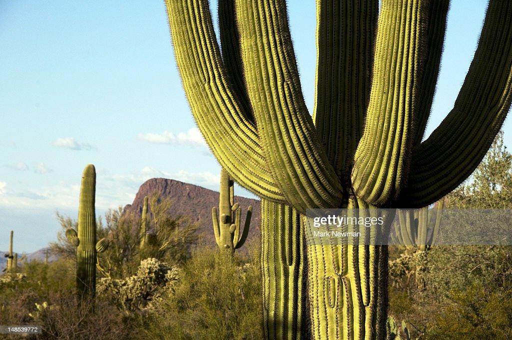Cacti in West Unit of Saguaro National Park.