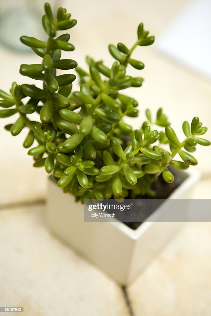 Cacti plants on a table. : Stock Photo