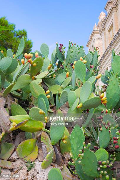 Cacti with prickly pears