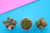 Cactus and succulent plants on blue paper background with copy space, top view, flat lay, succulent houseplant trendy design concept