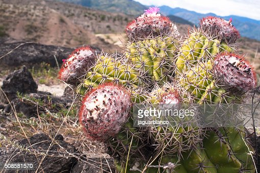 Cactus at desert : Stockfoto