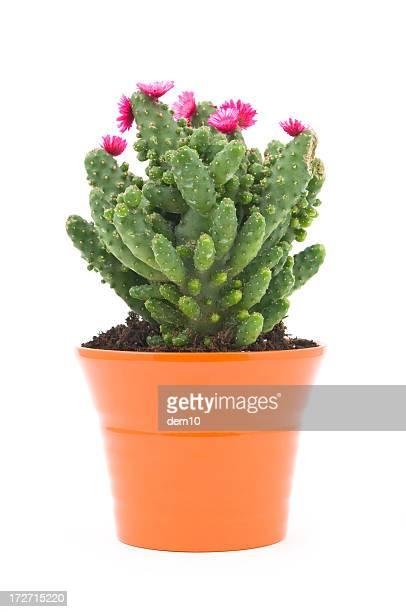 Cactus Blüten