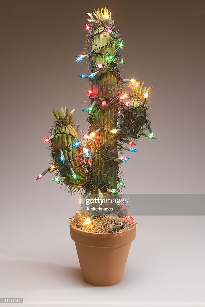 Cactus decorated with Christmas lights