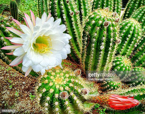 Cactus Flower Blooming Outdoors