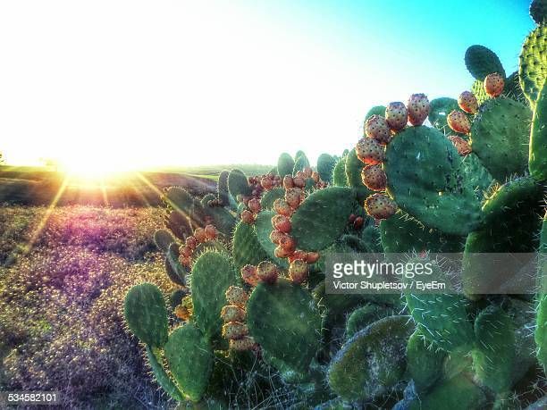 Cactus Growing On Field Against Bright Sun