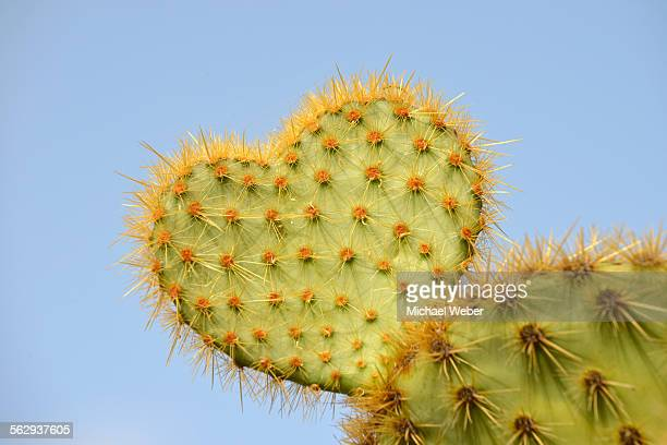 Cactus in heart shape, Opuntia scheeri -Opuntia scheeri-, Spain