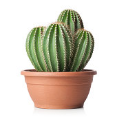 Cactus in pot isolated on white background.