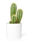 Cactus in pot, isolated on white