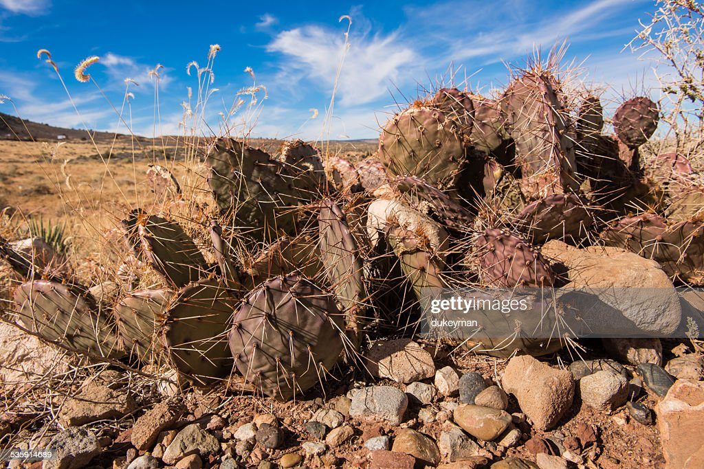 Cactus in the desert : Stock Photo
