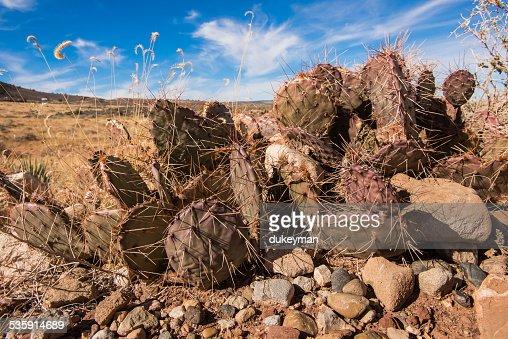Cactus in the desert : Stock Photo