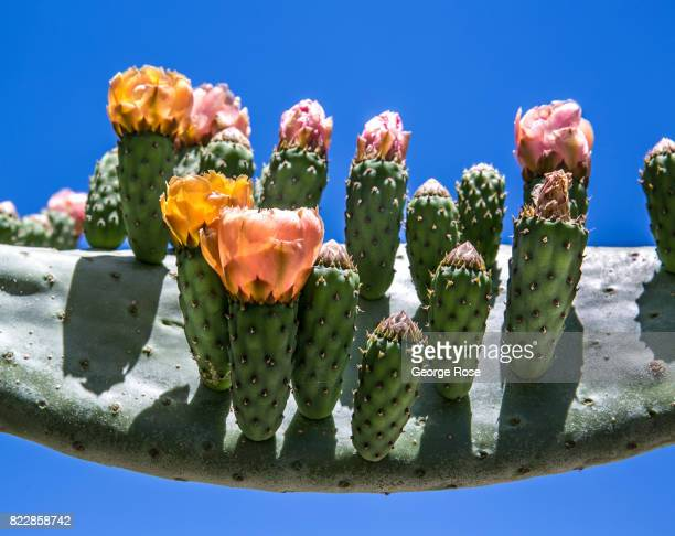 A cactus is in full bloom at Rancho Oso Resort in Santa Barbara County's backcountry on May 13 near Santa Ynez California Located 45 minutes north of...