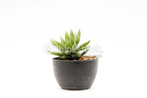 Cactus isolated : Stock Photo