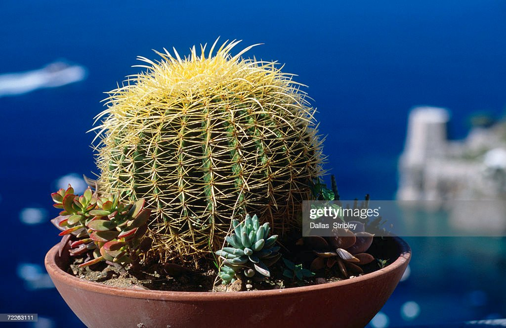 Cactus (Cactacea), known in Italy as mother-in-law's seat, Positano, Italy : Stock Photo
