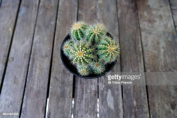 Cactus on plastic pot in the table