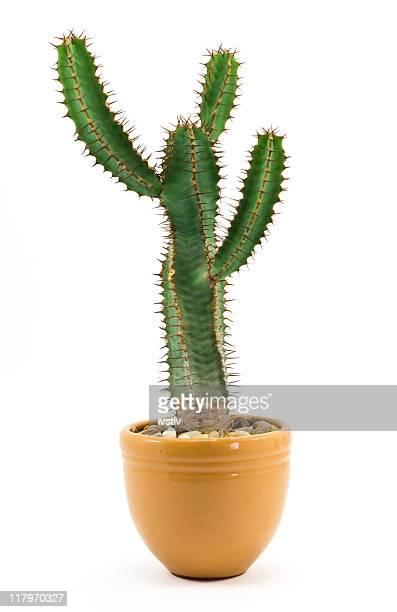 Kaktus Pflanze