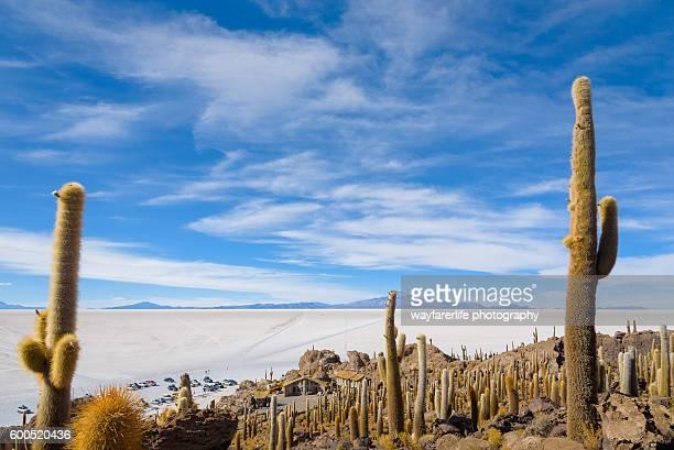 Cactus tree on Incahuasi or Cactus Island, Salar de Uyuni, Bolivia