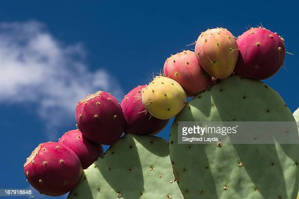 Cactus with Fruit