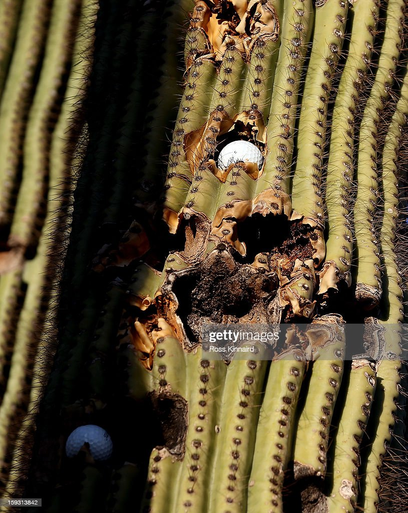 A cactus with golf balls embedded in the on The Tallon Course at the Gray Hawk Golf Club, Scottsdale on December 26, 2012 in Scottsdale, Arizona.